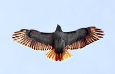 Red-Tailed Hawk: messenger of spirit, keen sight and willingness to look where others may not. Soaring with perspective, not losing site of ground.