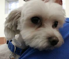 Max, a young Maltese dog available for adoption at @North Shore Animal League America