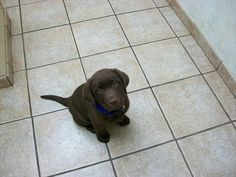 chocolate lab puppies <3