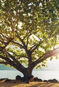 tree kauai Hanalei Bay Tree