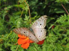 Nha-pekanga: Borboletas e Mariposas  7