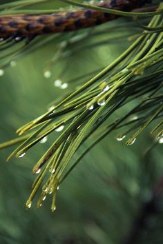 Free stock photo of nature, raindrops, drops of water, pine