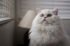 Posing for the camera! Gotta love blue eyed white persians :)