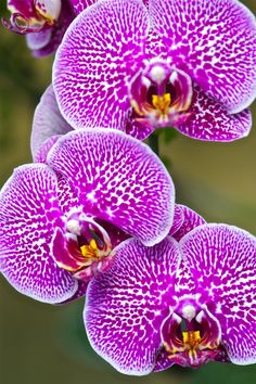 Leopard prince Phaleonopsis Orchid. How to grow care : http://www.houseplant411.com/houseplant/orchids-how-to-grow