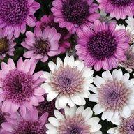 Osteospermum 'Flower Power'  Half-hardy Annual  Flowers June-Oct. Full Sun.