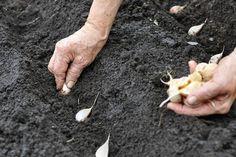 Hvitløkplanting