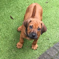 Rhodesian Ridgeback Puppies, Bloodhound Dogs, Horses And Dogs, Animals And Pets, Cute Animals, Baby Dogs, Pet Dogs, Cute Puppies, Dogs And Puppies