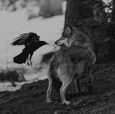 It is said, within Native Legend that the Wolf and Raven mate for Life. They warn each other of danger ... and they help each other find food ... They are both powerful spiritual symbols.