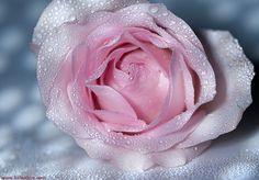 Drops on a flower by Alex Koloskov on 500px