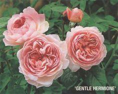 róże angielskie - Szukaj w Google