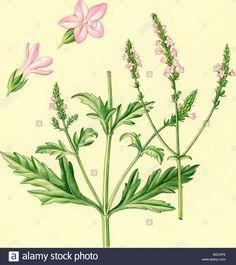 Afbeeldingsresultaat voor l-Verbena officinalis – Ijzerhard