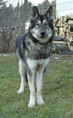 Pictures of Native American Indian Dog Dog Breed. Looks just like peanut. Pictures of Native American Indian Dog Dog Breed. Looks just like peanut. Almost . Big Dogs, I Love Dogs, Cute Dogs, Dogs And Puppies, Doggies, Beautiful Dogs, Animals Beautiful, Cute Animals, Farm Animals