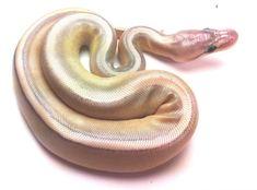 Silver Wraith ball python morph.