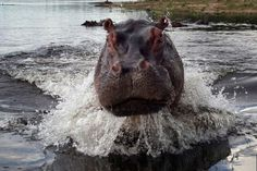 Sure, baby hippos are adorable-those big eyes, those small ears, you just want to reach out and cuddle one. But the mother hippo is going to prevent you from seeing all that cuteness, as a bunch of tourists found out while on safari in Botswana. Rob Masterson and his wife Jessica Masterson-Smith were on a […]