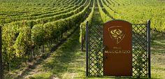 Pico Maccario Barbera vineyards