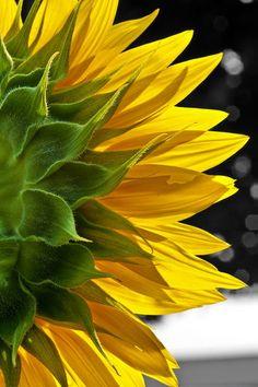 backside of sunflower