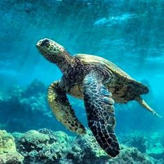 Sea Turtles are a common sight when swimming in Maui Hawaii. Found this loving turtle photo while browsing :) Kinds Of Turtles, Cute Turtles, Sea Turtles, Land Turtles, Sea Turtle Pictures, Les Reptiles, Turtle Swimming, Turtle Painting, Turtle Love