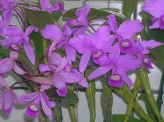 ORQUIDEAS: Cattleya skinneri
