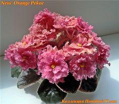 Ness Orange Pekoe - Gorgeous color & large flowers. I Really want one.(tbb)