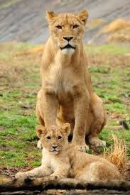 Lions have been celebrated throughout history for their courage and strength. They once roamed most of Africa and parts of Asia and Europe. Today they are found only in parts of sub-Saharan Africa, except for one very small population of Asian lions that survives in India's Gir Forest.