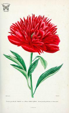 Common Peony, Paeonia officinalis var. hort. Herbier général de l'amateur. Deuxième Série, vol. 3 (1839-50)