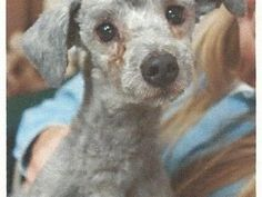 HELP SAVE TERIFFIC TINSEL!   Can you spare the cost of a cup of coffee, or a magazine, towards this little dog's Medical Expenses? Thanks for caring.  YouCaring.com