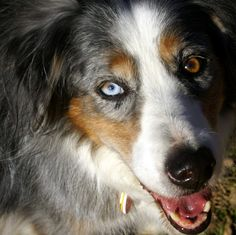 Eyes~ Australian Shepherd. The number one trait of this breed is Loyalty, sometimes people could learn a few things from a dog.
