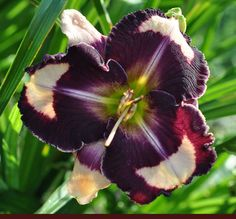Hemerocallis 'The One and Only'. Purple and peachy cream make this a head-turning high-contrast daylily.