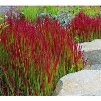 Imperata cylindrica Red Baron - Pack of THREE Japanese Blood Grasses - Ornamental Grasses - Garden Plants Landscaping Around Trees, Front Yard Landscaping, Landscaping Ideas, Landscaping With Grasses, Landscape Design, Garden Design, House Landscape, Architectural Plants, Ornamental Grasses