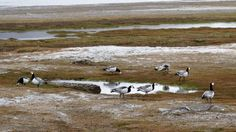 Svalbard-oies - blog Bar a Voyages #Svalbard #spitzberg #norvege #ice #banquise #arctique #arctic #oie #goose #animals #norway
