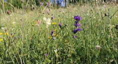 Gemähte Halbtrockenrasen blühen oft äußerst bunt und bieten Nahrung für Bienen und Schmetterlinge.