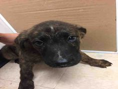 05/19/17-ROSENBERG, TX -EXTREMELY URGENT -This DOG - ID#A011315 I am a male, black brindle Labrador Retriever mix. The shelter staff think I am about 9 weeks old. I have been in shelter care since May 18, 2017. This information was refreshed 6 minutes ago and may not represent all of the animals at the Fort Bend County Animal Services Shelter.