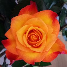Orange, red, yellow tip rose.