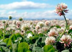 Clover Seed - Clover Seed for Pastures and Food Plots