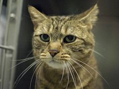 **$45** PLEDGED TO BE DESTROYED 7/8/14 ** SENIOR ALERT! Chico interacts with the Assessor, solicits attention, is easy to handle and tolerates all petting. As per owners profile Chico previously lived with 4 adults and 1 child for a few years ** Brooklyn Center** CHICO. My Animal ID # is A1004263. I am a spayed female brn tabby and white domestic sh mix. The shelter thinks I am about 12 YEARS old.  I came in the shelter as a OWNER SUR on 06/23/2014 from NY 11378, owner surrender HOUSE SOIL.