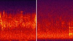 """[Soundscape before and after logging] """"A landscape may look healthy, but how does it sound, and what does that say about how its wildlife is doing?.. in a pristine place, animals, insects, birds and reptiles have each found a niche - their own frequency in which they can communicate to each other and be heard above everything else.  By creating a spectrogram - a graph of the soundscape created by plotting time against frequency - he's able to see the patterns that natural sound forms..."""""""