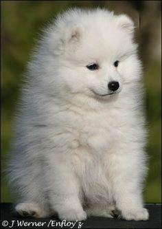Spisshund