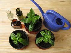 Magnifique plante aromatique qu'est le basilic, qui vient donner beaucoup de fraîcheurs à nos plats cuisinés ainsi que certains des cocktails des plus exotiques. Ces dernières années nous avons vu l'apparition en épicerie de plants vendus en pot que l'on peut rapporter chez soi mais, outre le prix d
