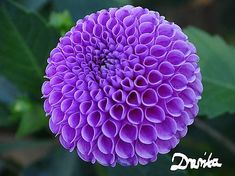 drevita / Dhalia Plants, Living Room, Videos, Fotografia, Home Living Room, Plant, Drawing Room, Lounge, Family Rooms