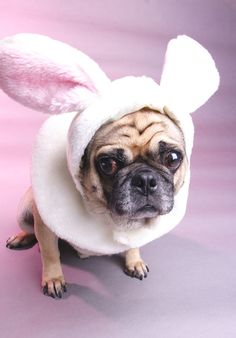 Poor pug. However I like bunnies and pugs so I must re-pin.