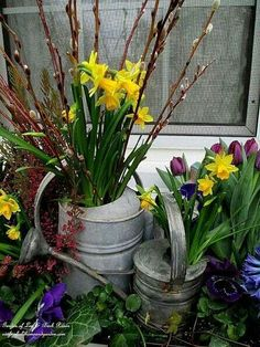 Watercans filled with daffodils with some purple tulips by the house