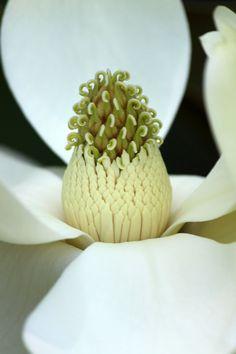 magnolia by casper1830
