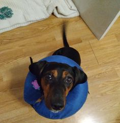 """Shamontiel wrote """"14-day countdown: Spayed dog on bed rest, owner just wants to rest ~ Pets are on bed rest after spaying and neutering, but what about the owners?"""" #dogs #dogowner #pets #petowner #dogtraining (Photo credit: Shamontiel L. Vaughn) No Kill Animal Shelter, Super Cute Dogs, Day Countdown, Bed Rest, German Shepherd Dogs, Dog Owners, Dog Training, Puppies, Pets"""