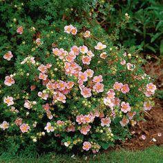 potentilla fruticosa lovely pink. http://plants.connon.ca/11100004/Plant/1126/Goldfinger_Potentilla