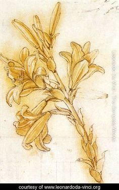 Lily Detail  Leonardo Da Vinci