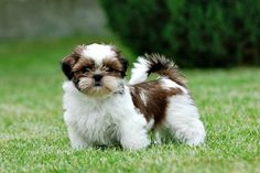 10 Awesome Things You Should Know About Shih Tzus #Shihtzu, #Liondog, #Chinesebreeds