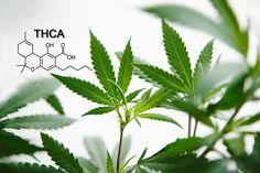Tetrahydrocannabinolic acid (THCA): The Raw Cannabinoid For Pain