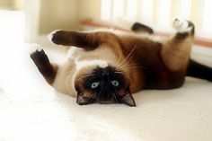 Nina - Siamese Cat - Ideas of Siamese Cat - Siamese. And so this begins the pinning of kittens. I love kittens KITTENS kittens. The post Nina appeared first on Cat Gig. Siamese Kittens, Cats And Kittens, Funny Kittens, Bengal Cats, White Kittens, I Love Cats, Cute Cats, Adorable Kittens, Maine Coon