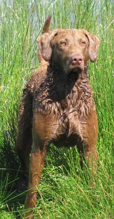 Chesapeake Bay Retriever dog art portraits, photographs, information and just plain fun. Also see how artist Kline draws his dog art from only words at drawDOGS.com #drawDOGS http://drawdogs.com/product/dog-art/chesapeake-bay-retriever-dog-portrait-by-stephen-kline/