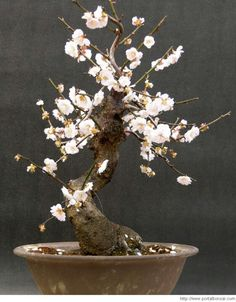 Easy To Grow Houseplants Clean the Air There Is Something About.A Bonsai Tree. Easy To Grow Houseplants, Plantas Bonsai, Miniature Trees, Snake Plant, Garden Trees, Growing Tree, Topiary, Ikebana, Planting Flowers
